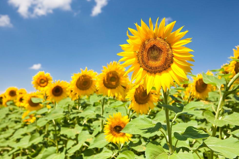 stockvault-sunflowers136114-1